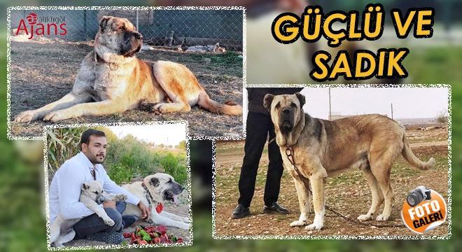 Urfa'nın değeri Gureğh Çoban Köpeği ve özellikleri